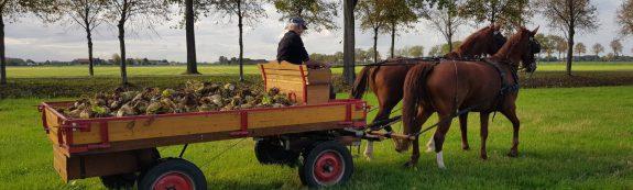 Bietenoogst met paard en wagen