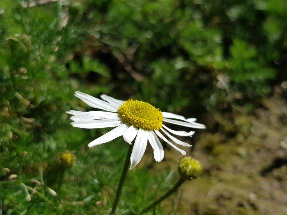 Margriet heeft winter bloeiend overleefd