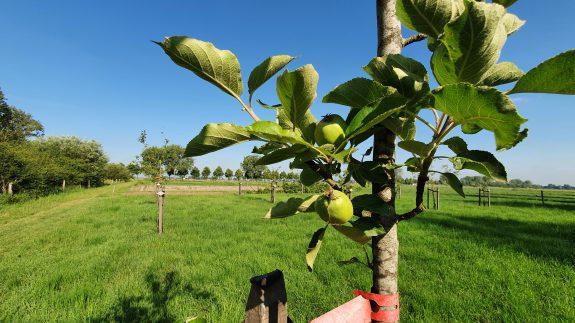 De eerste appeltjes op Noord