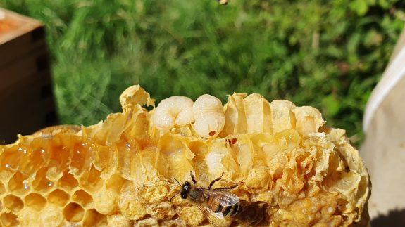 Bijenlarven