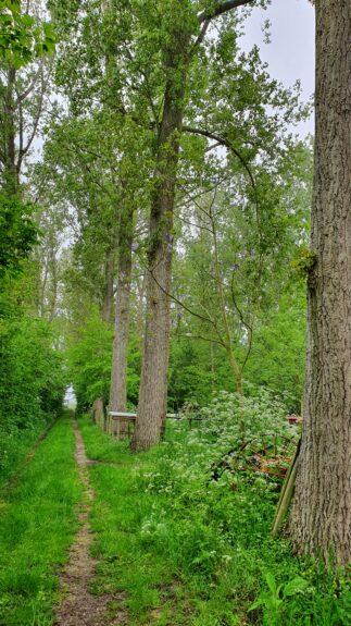De Anna Paulownaboom langs het pad