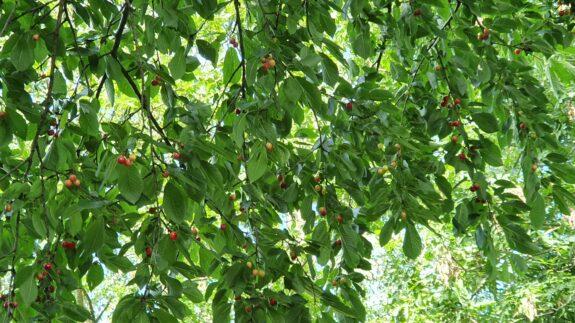 Mooie rode kersen hangen hoog in de boom
