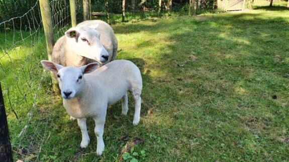 Moeder en dochter schaap